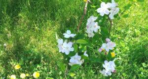 りんご園の花見