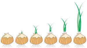 玉ねぎの成長